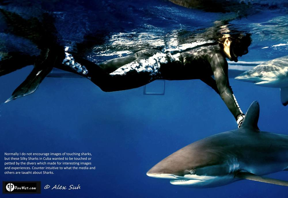 Caribbean Reef Sharks (Carcharhinus perezii) Wanting Interaction