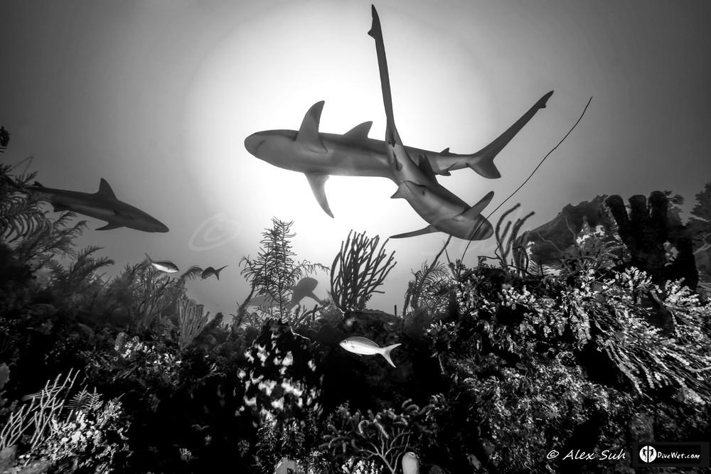 B&W Caribbean Reef Shark (Carcharhinus perezii)  Crossing Under The Sun