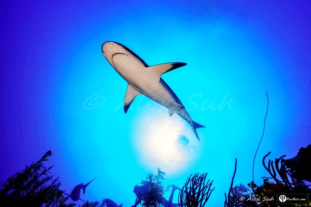 Caribbean Reef Shark (Carcharhinus perezii) Flying Over The Sun