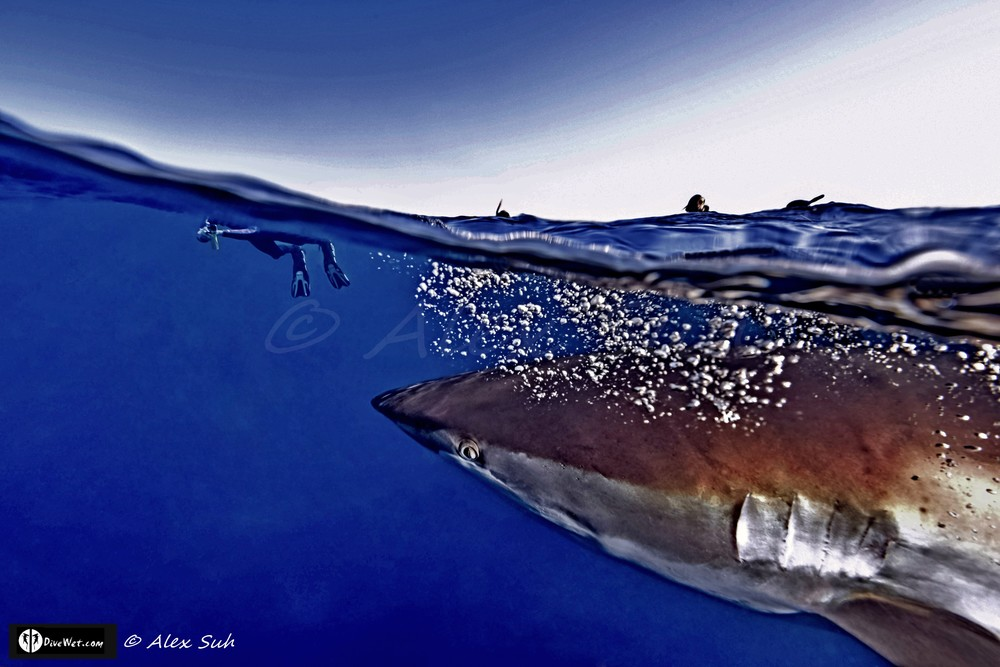 Over Under Image of Silky Shark (Carcharhinus falciformis) Passes Me & Is Curious About Divers
