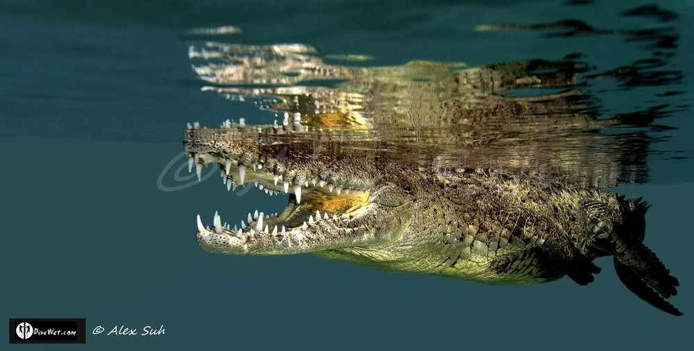 American Crocodile (Crocodylus acutus) floating on by