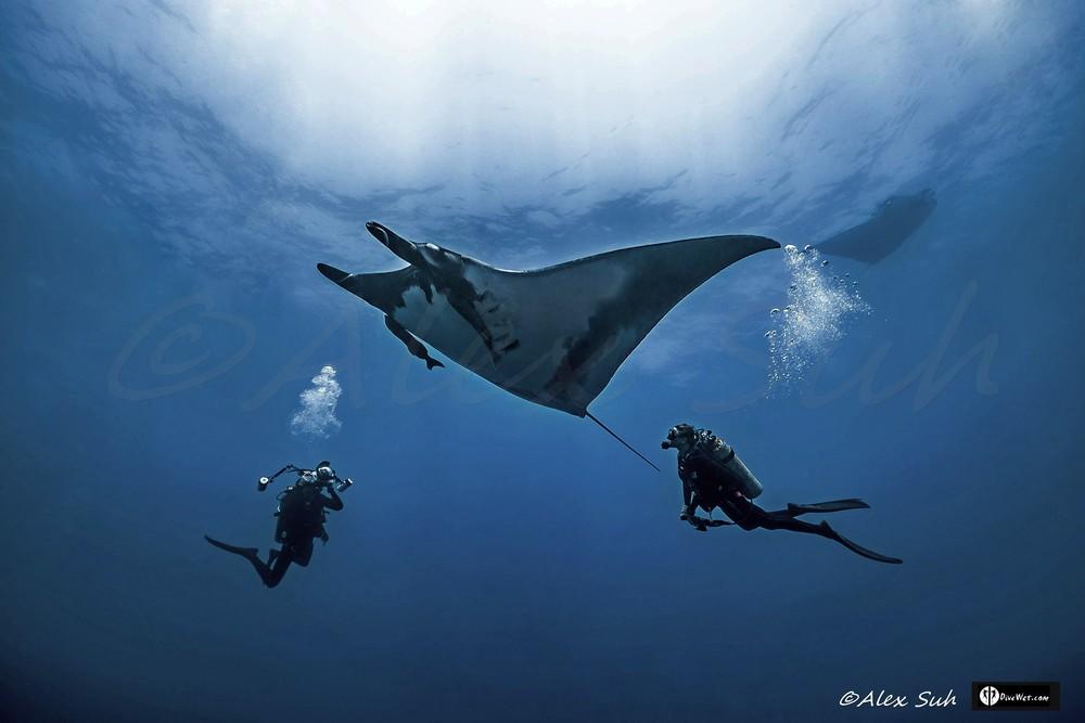 2 Divers with 2 Giant Pacific Manta (Manta hamiltoni)