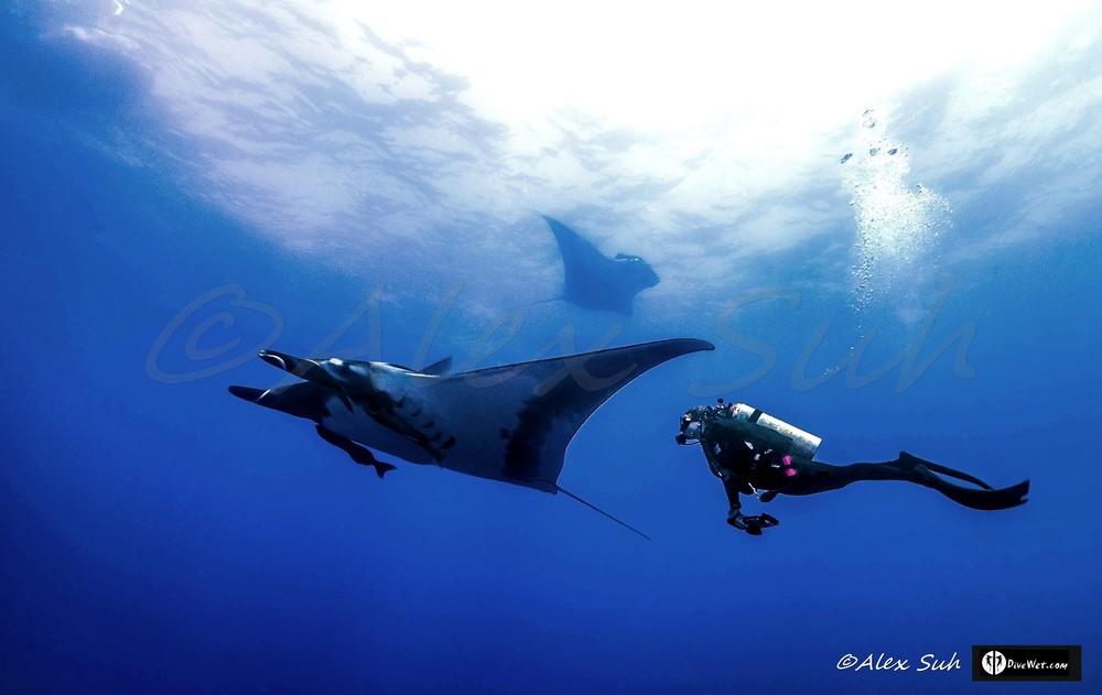 2 Giant Pacific Mantas (Manta hamiltoni) w/ Diver Following