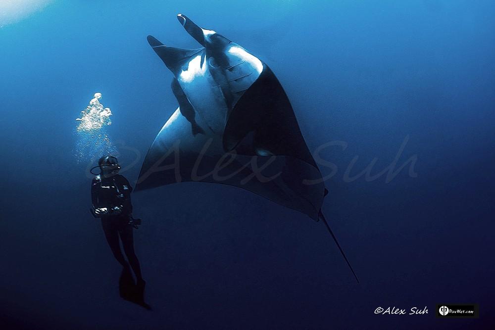 Giant Pacific Manta (Manta hamiltoni) Hug A Diver