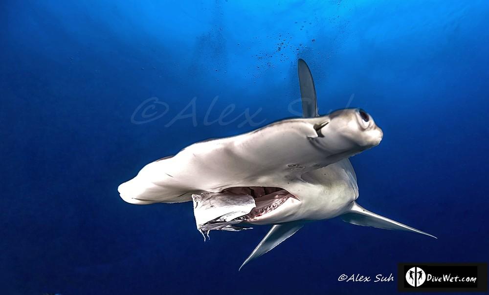 Great Hammerhead Shark (Sphyrna mokorran) Feeding