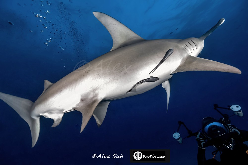 Great Hammerhead Shark (Sphyrna mokorran)