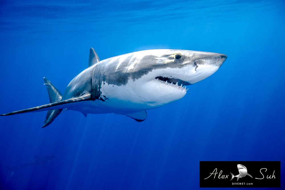 MARKED Great White Swimming.jpg