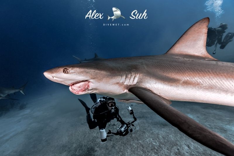 Caribbean Reef Shark - Damaged by fisherman's hook