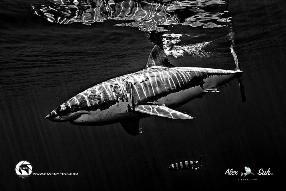 Great White Shark BW