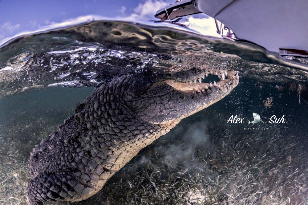 MARKED Croc OU Close 72 dpi.jpg