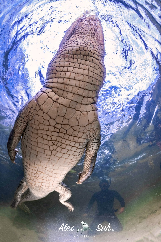 MARKED Croc OU Swim over 72dpi.jpg