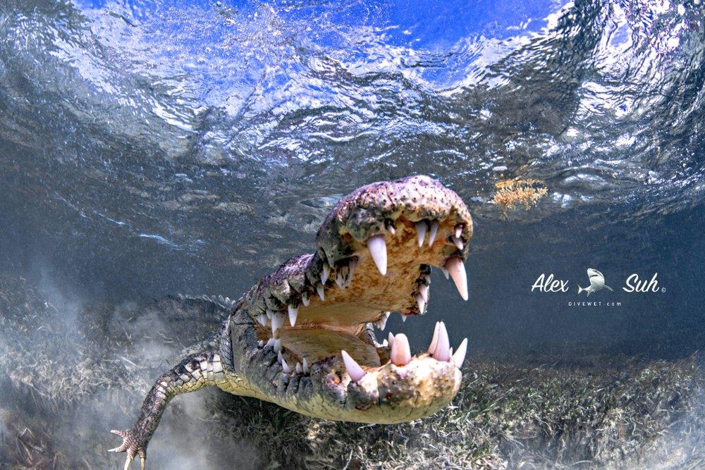 MARKED Croc UW Mouth Open 3 72.jpg