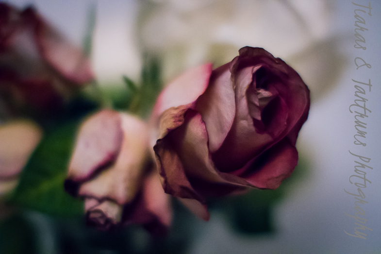 dead roses images