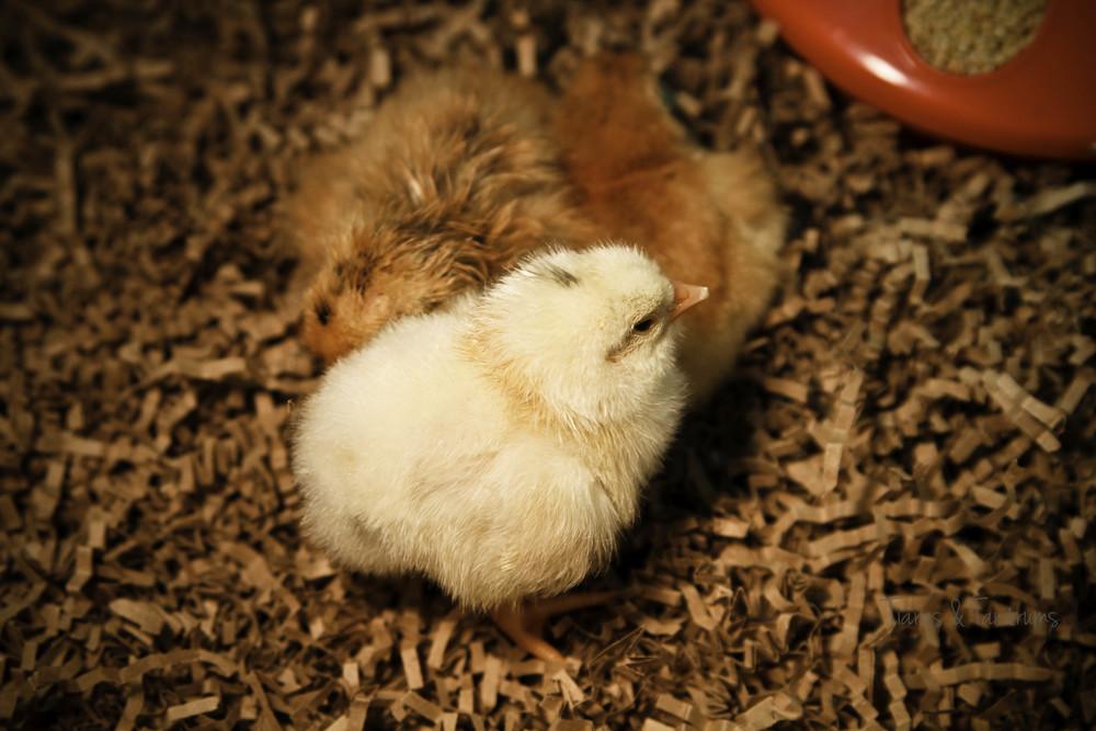 chicks-1.JPG