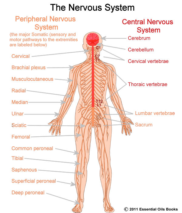 The Central Nervous System Science Tiaras Tantrums – Central Nervous System Worksheet