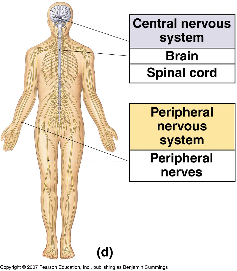 Image result for central nervous system