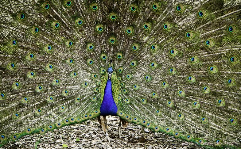 peacock (1 of 1).JPG