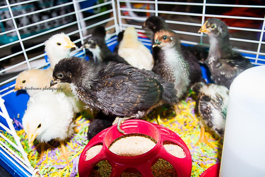 how-thatch-chicks-9.jpg