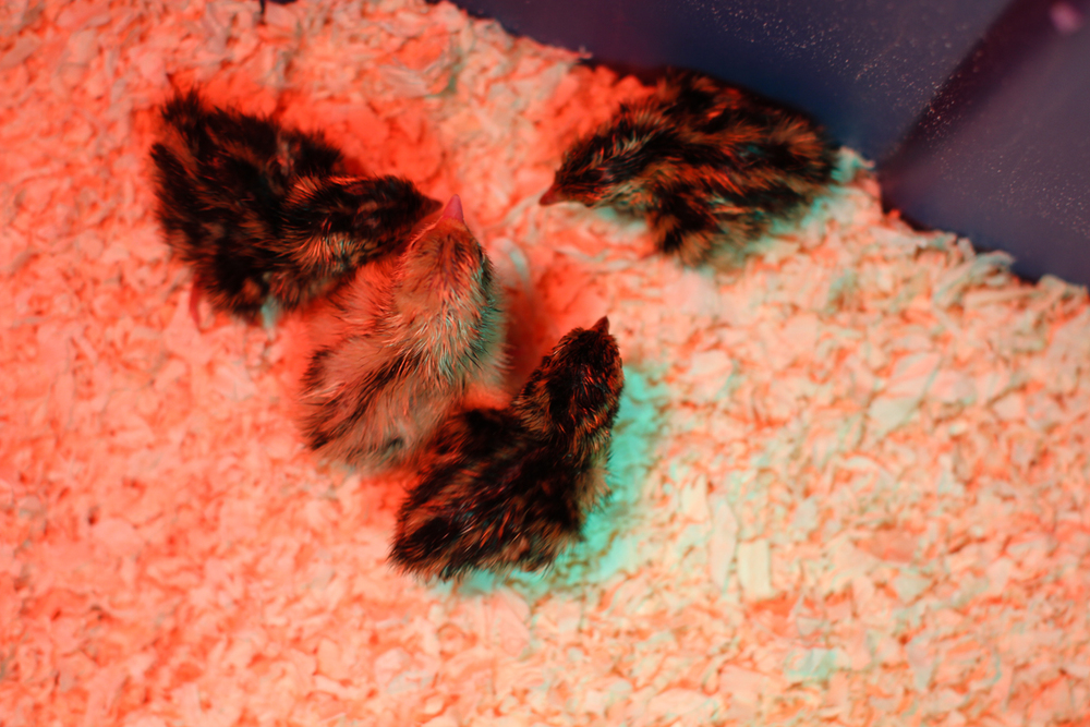 Newly Hatched Baby Quails