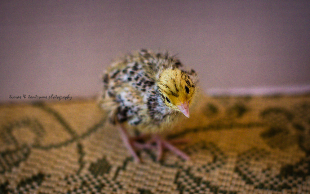 Newly hatched Quail