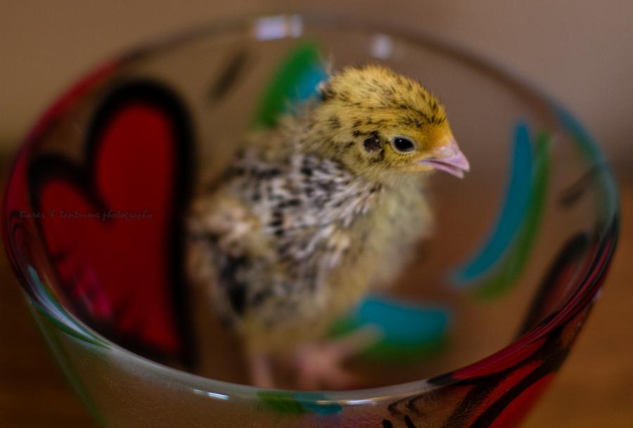 baby quails