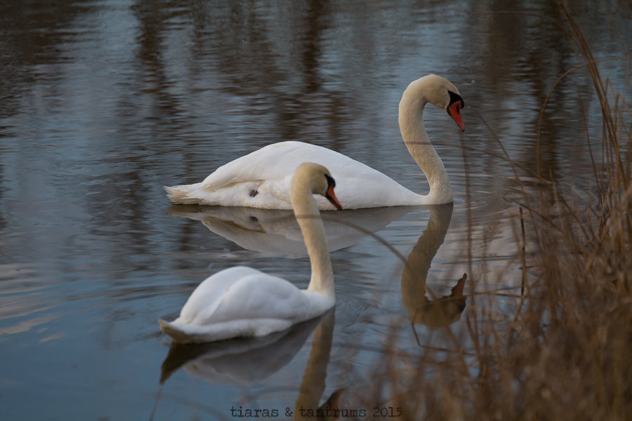 Amazing and Beautiful Swans