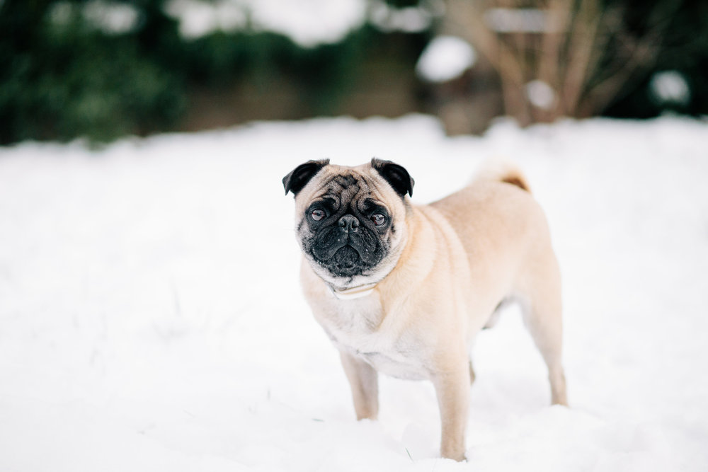 pug artie eisley images