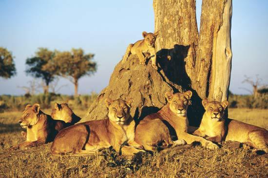 chobe-lions