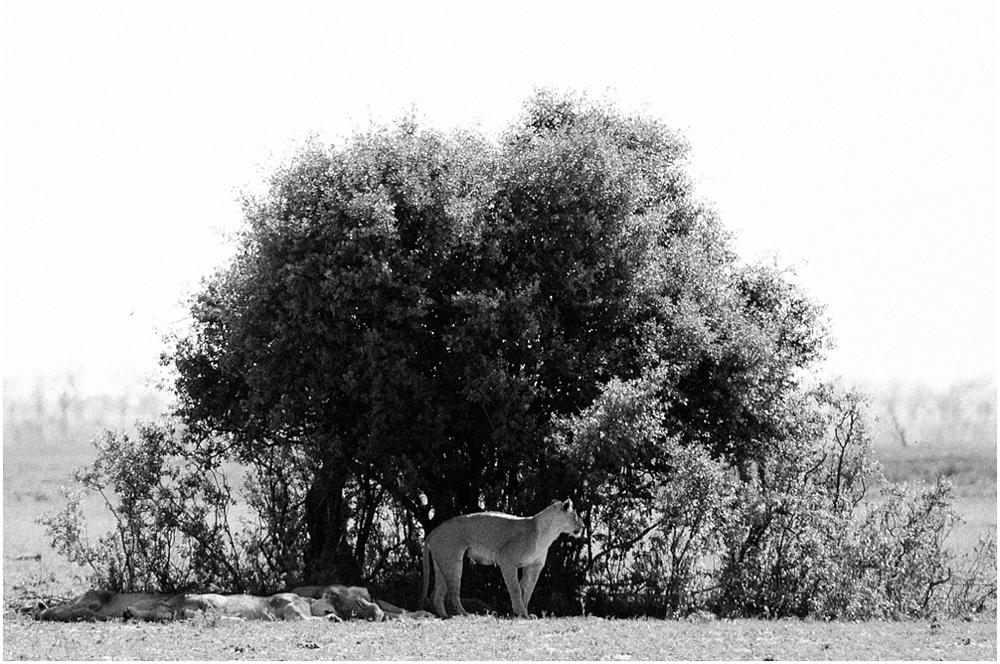 lionspride.jpg