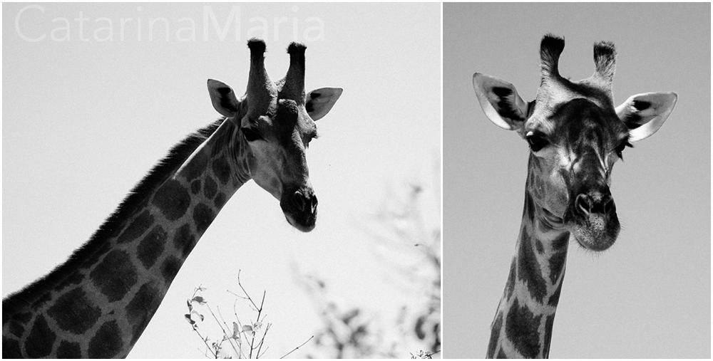 savuti_girafas.jpg