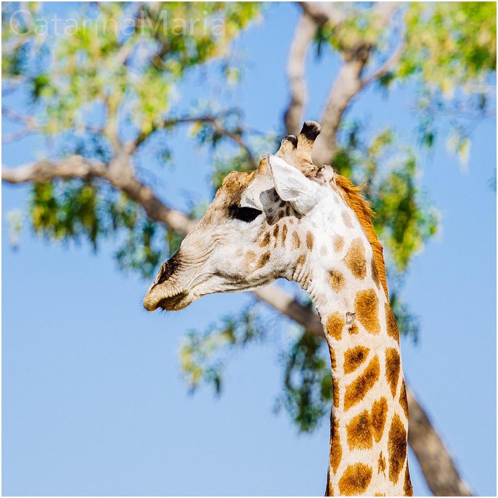 savuti-girafa.jpg