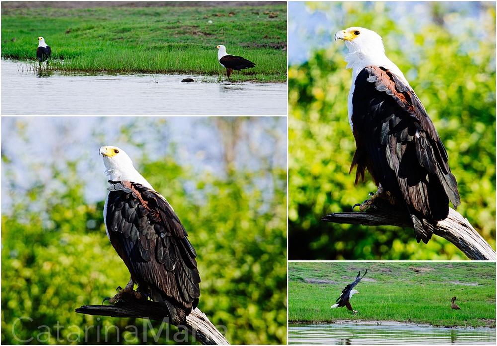 Chobe-African-Eagle.jpg