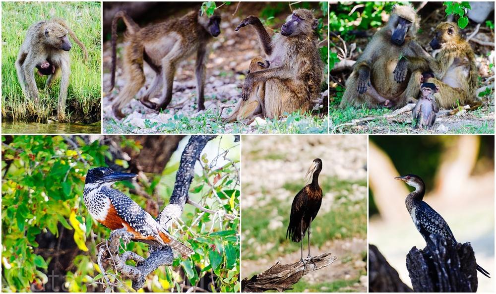chobe-birds-baboons-1.jpg