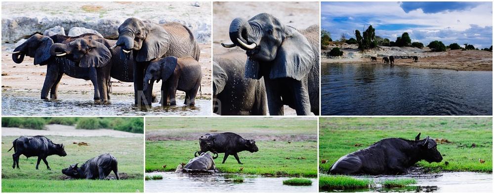 chobe-elephant-buffalo-1.jpg