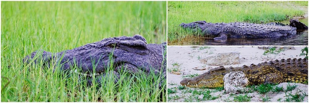 chobe-crocodile-1.jpg
