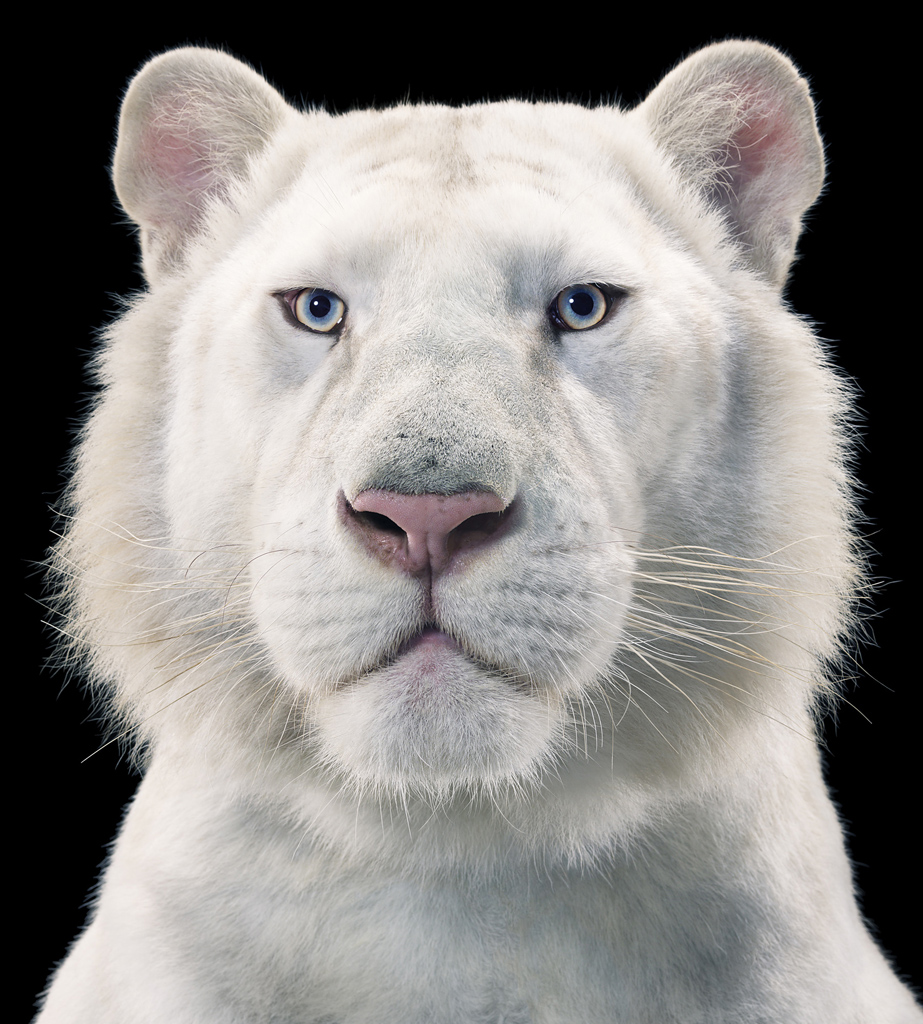 0098_White_Tiger copy.jpg