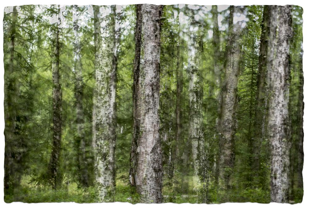 Alaska Trees #8