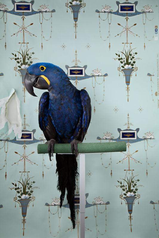 hyacinth macaw 7677