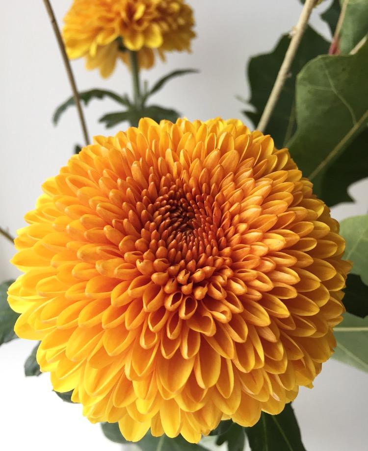 chrysanth.jpg