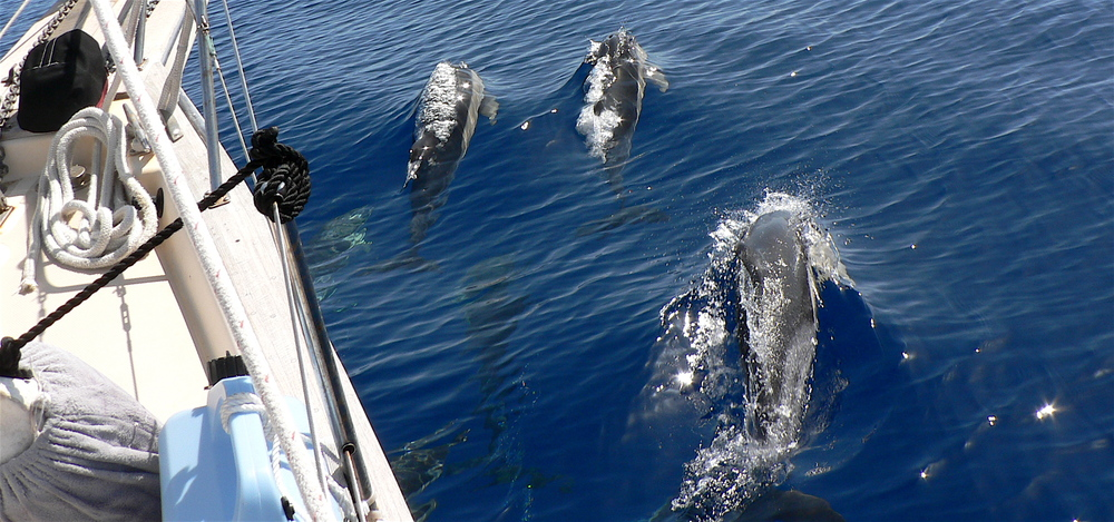 dolphins-faial-to-sj-azores.jpg