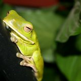 White_Lipped_tree_Frog1-160x160.jpg