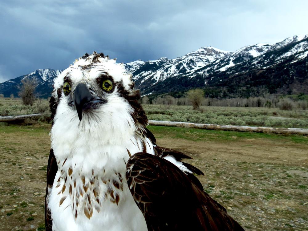 Osprey 5.jpg