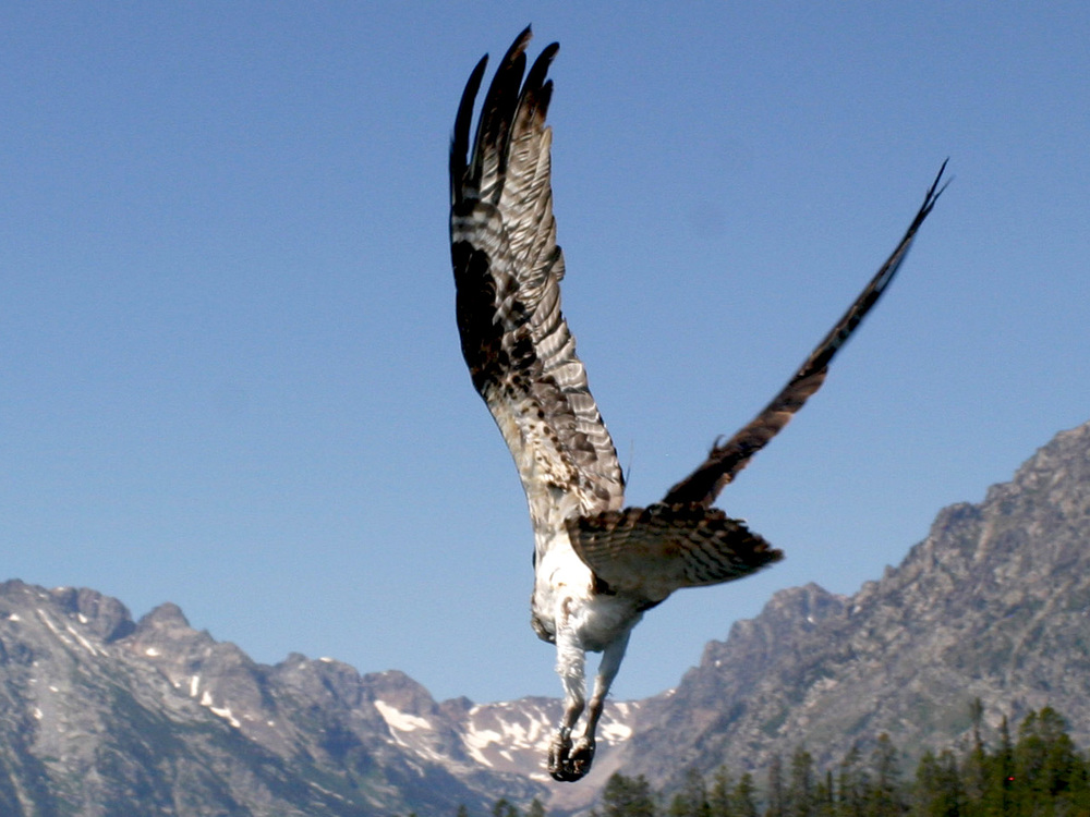 Osprey 11.jpg