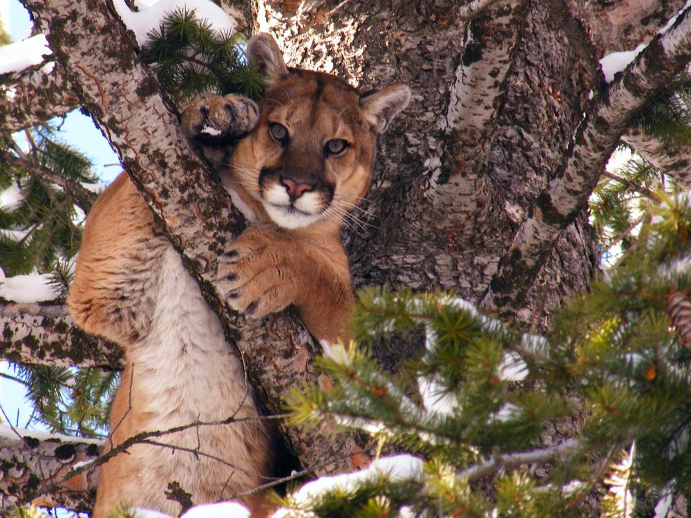 Cougar 8.jpg