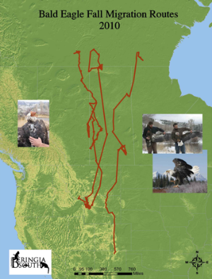 bald eagle fall migration routes 2010