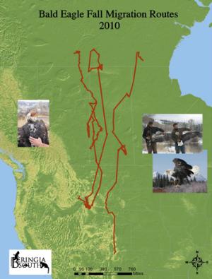 bald eagle fall migration routes 2010