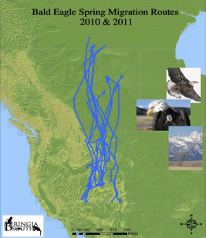 bald eagle spring migration 2010 2011