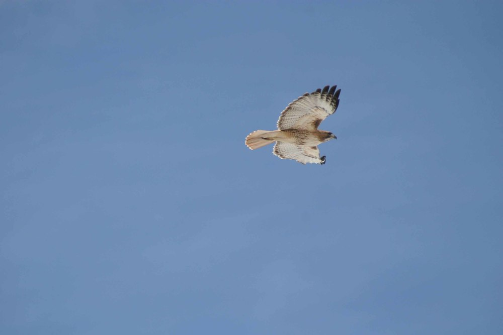 Red Tailed Hawk Flight.jpg