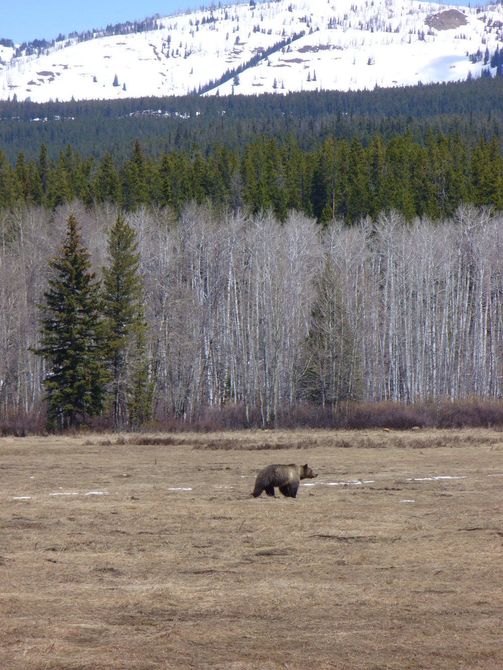 41Grizzly Bear GTNP.JPG