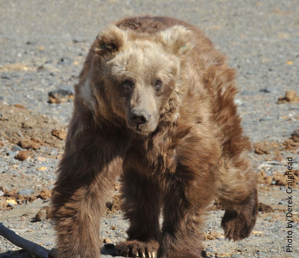96gobi bear photo.jpg